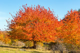 Red autumn colors on the deciduous trees - 220984553