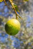 One ripe yellow lemon on the tree - 220987199