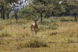 Alert Antelope - 220991327