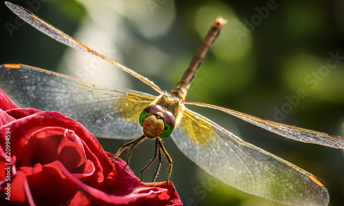 Leinwanddruck Bild Closeup a green dragonfly Calopteryx virgo on green leaf background