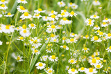 Chamomile flowers background. Summer time meadow photo. Shallow depth of field - 221003146