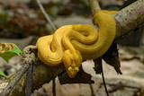 Yellow snake in Costa Rica - 221014175