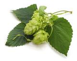 Green fresh hop.