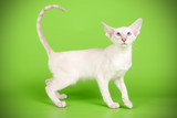 Siamese cat on colored backgrounds - 221033563