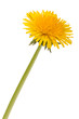 Dandelion flower isolated on white background cutout - 221034550