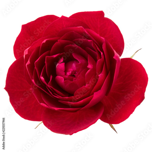 Fotoboard na płycie - one red rose flower head isolated on white background cutout