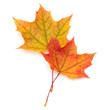Leinwandbild Motiv colorful autumn maple leaf isolated on white