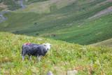 Schaf im Lake District, England - 221039356