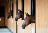 Chestnut horses looking out of stall. Sleeping horse stands in the stable - 221043522