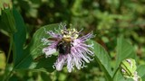 Passion Flower with Bumblebee - 221044178