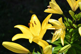 Garden Lily yellow