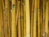 yellow bamboo nature