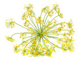 fresh dill flower isolated on white background - 221077328