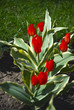 Beautiful bright red tulips in a garden bed on a sunny day.