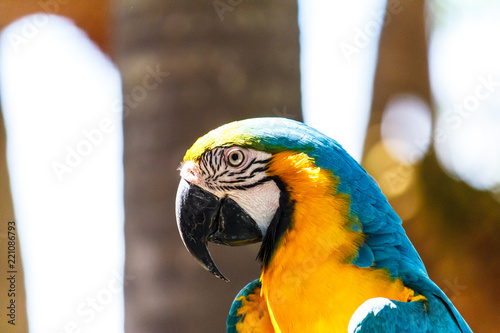 Fototapeta Macaw parrot with blue color.