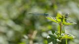 libellule bleu à l'horizontal sur une feuille verte - 221087542