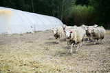 herd of sheep in a agriculture small livestock husbandry farm - 221090981