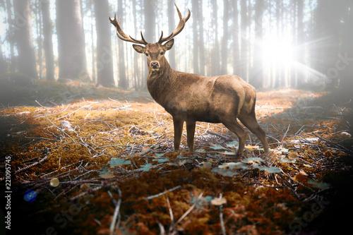 canvas print picture Hirsch im herbstlichen Wald bei Sonneneinfall