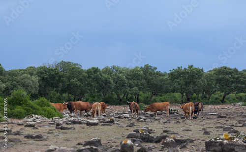Foto Murales High-lying area of Giara di Gesturi with some cows in a stormy day - Sardinia - Italy