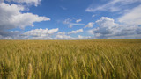 Wheat ears in field. blue sky, clouds. Golden wheat field. Yellow grain ready for harvest growing in farm field. - 221106726