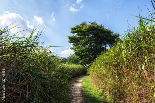Fototapeta tall reeds in han river