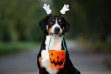 funny entlebucher dog ready for Halloween - 221112969