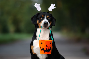 funny entlebucher dog ready for Halloween © otsphoto