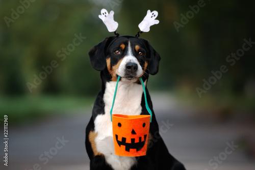 Leinwanddruck Bild funny entlebucher dog ready for Halloween