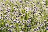 Blauviolett blühendes Phaceliafeld im Herbst