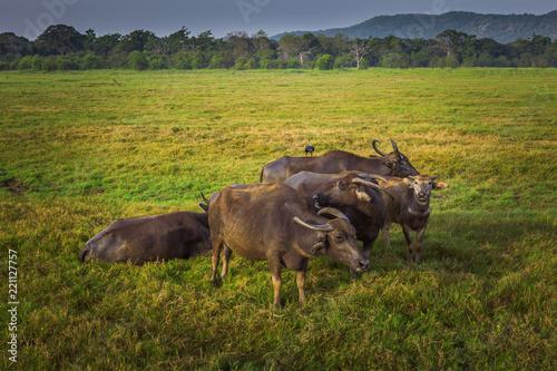 Foto Murales Wild cows in safari national Park Sri Lanka
