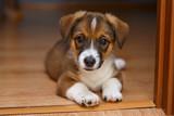 Little puppy lying on the floor - 221130964