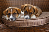 Two small puppies - 221130985