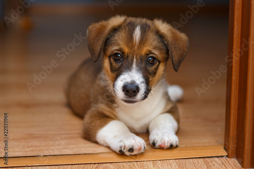 Little puppy lying on the floor