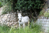 A white donkey who walked on a meadow.