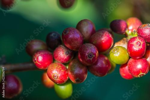 Foto Murales coffee bean