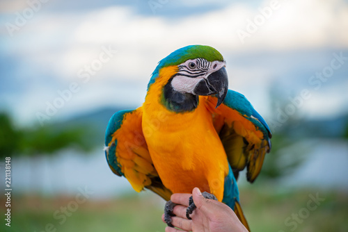 Fototapeta macore bird Beautiful bird parrot playing with pet care on her hands at asia Thailad