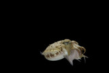 Cuttlefish eating fish with black isolated background - 221149131