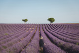 back view of young woman looking at picturesque lavender field in provence, france - 221150584