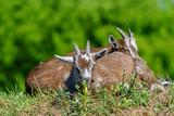 goats graze on the grass - 221151322