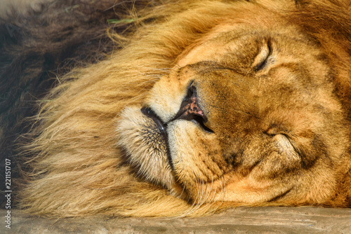 Fototapeta portrait of a sleeping lion close-up