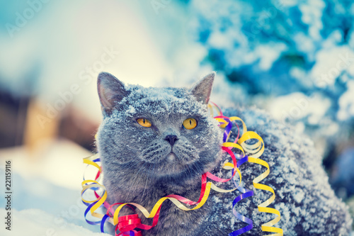 Portrait of a Blue British Shorthair cat wrapped in serpentine sitting outdoors on the snow in winter