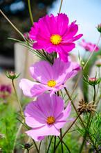 "Постер, картина, фотообои ""A close up view of pink Cosmos flowers."""