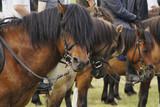 portret gniadego konia przed zawodami jeździeckimi - 221171720