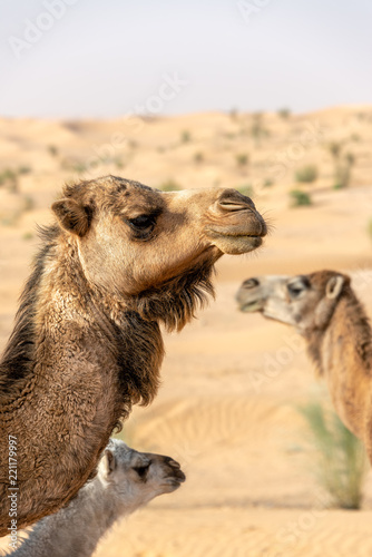 Three Camels in Tunisia - 221179997