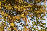 Kastanien im Abend Sonnenlicht - 221187338