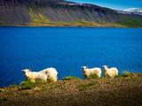 icelandic landscape with sheep - 221188399