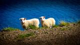 icelandic landscape with sheep - 221188546