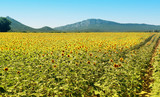 Mountains and Sunflowers a sunny day in Provence, France.
