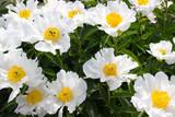 Peony flower white - 221192734