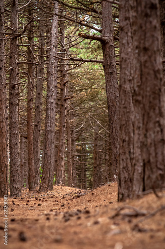 Narrow winding footpath covered with pine needles, pine cones among a bunch of pine trees tree trunks